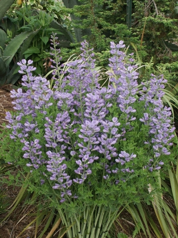 Baptisia minor 'Blue Pearls'