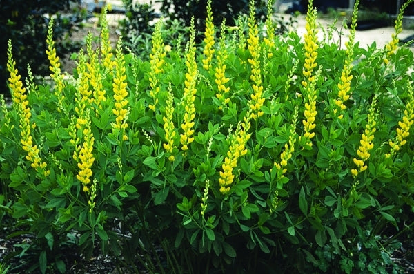 Image of Baptisia sphaerocarpa Hunt Co. Texas