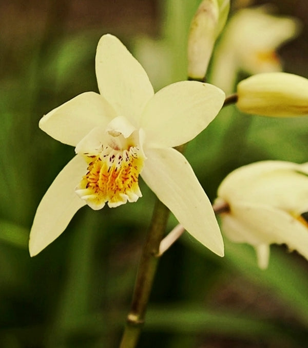 Image of Bletilla ochracea 'Chinese Butterfly'