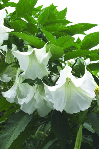 Brugmansia 'Betty Marshall'|Juniper Level Botanic Gdn, NC|