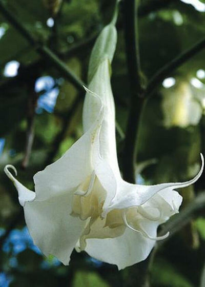 Brugmansia x candida 'Double White'|Juniper Level Botanic Gdn, NC|JLBG