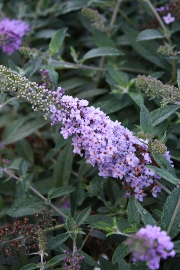 Image of Buddleia 'Lilac Chip' PP 24,016