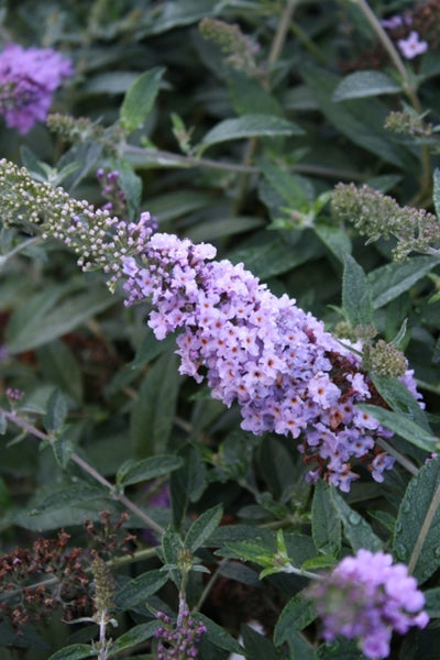 Buddleia 'Lilac Chip' PP 24,016|Juniper Level Botanic Gdn, NC|