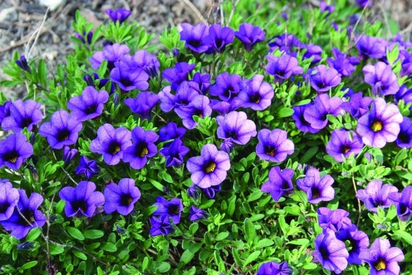 Calibrachoa 'Minifamous Dark Blue'