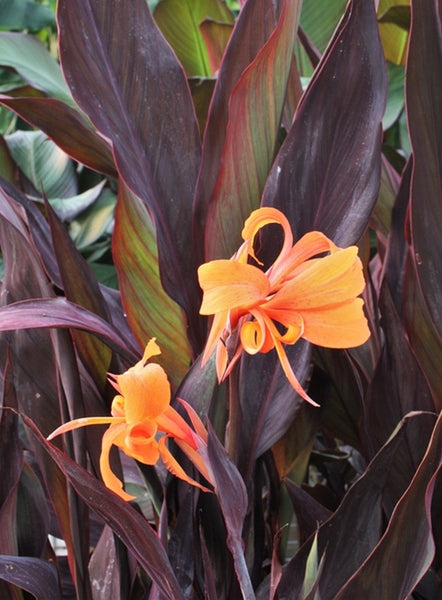 Image of Canna x generalis 'Intrigue'