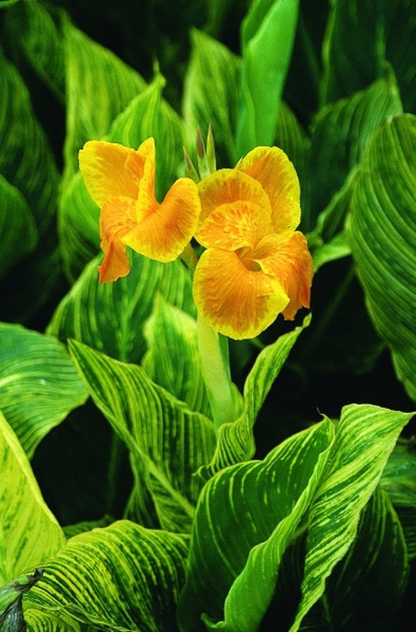 Image of Canna 'Mactro' PP 13,809