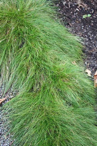 Carex eburnea|Juniper Level Botanic Gdn, NC|JLBG