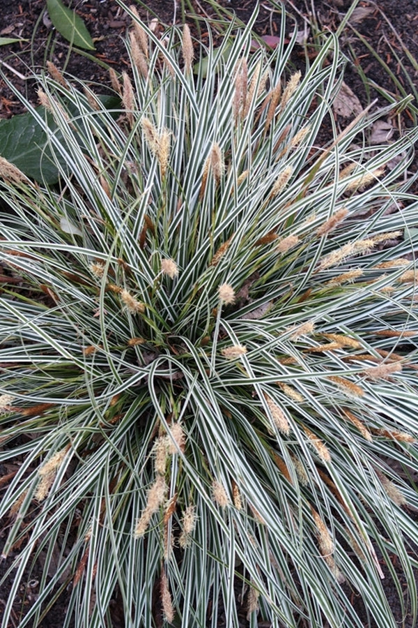 Carex oshimensis 'Everest' PP 20,955