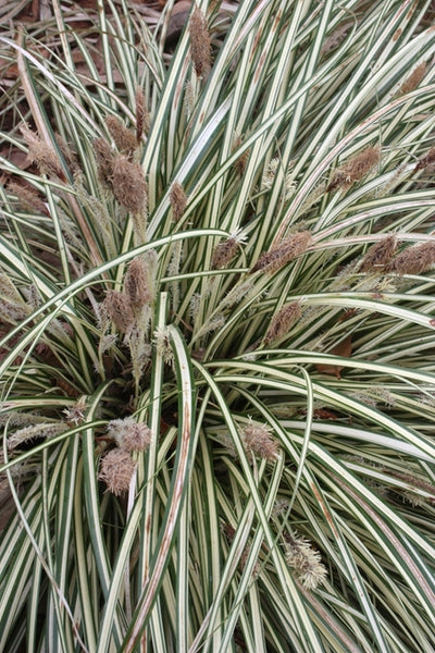 Carex oshimensis 'Evergold'||