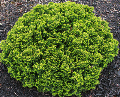 Chamaecyparis obtusa 'Just Dandy'|Iseli Nursery|Iseli Nursery