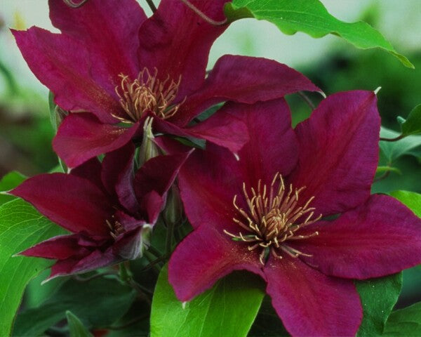 Clematis 'Picardy' PP 15,166
