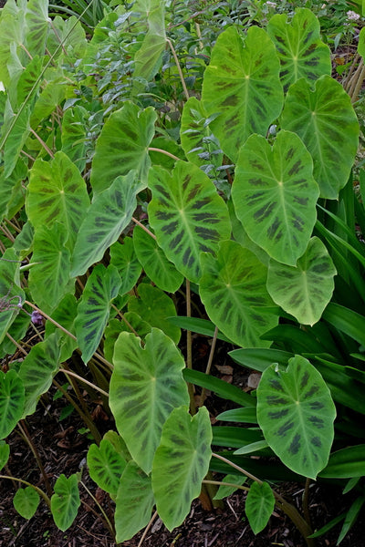 Colocasia 'Smiley Face'|Juniper Level Botanic Gdn, NC|