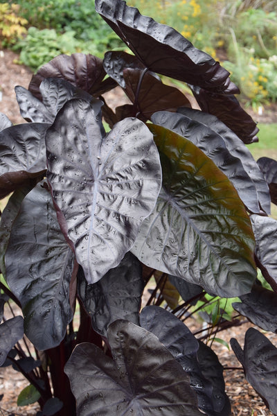Colocasia esculenta 'Black Ripple' PP 26,151|Juniper Level Botanic Gdn, NC|JLBG