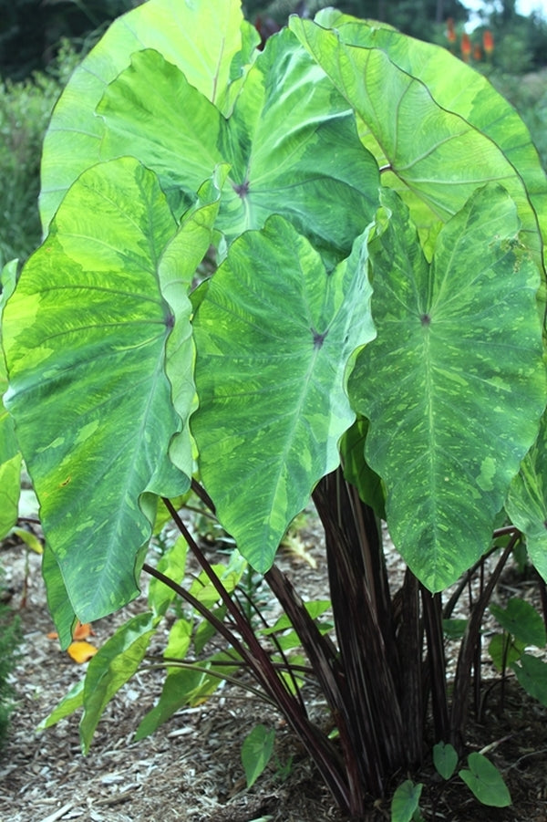 Colocasia esculenta 'Lemon-Lime Gecko'