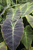 Colocasia esculenta var. antiquorum 'Black Beauty'