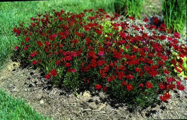 Coreopsis 'Limerock Ruby' PP 15,455