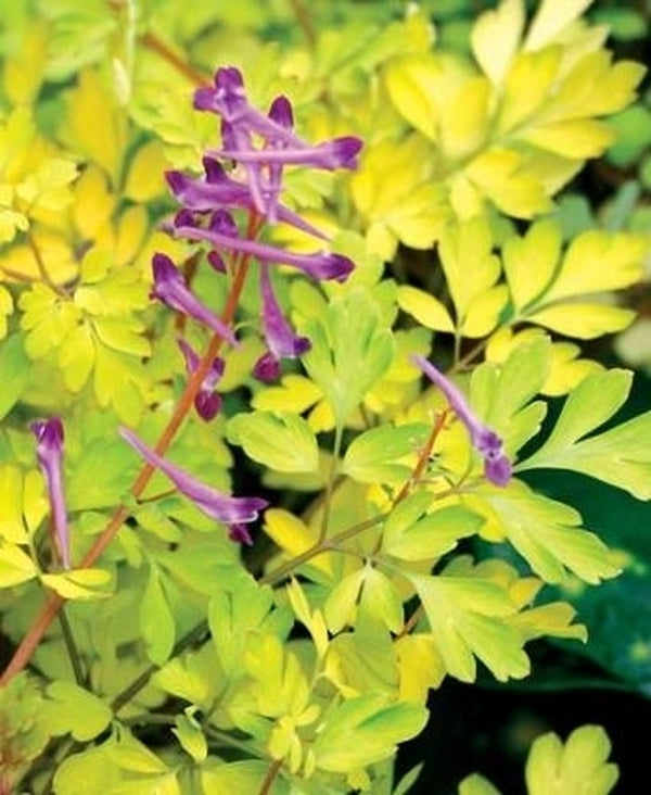 Corydalis anthriscifolia 'Berry Exciting' PP 18,917