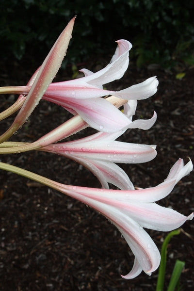 Crinum 'Long Shot'||
