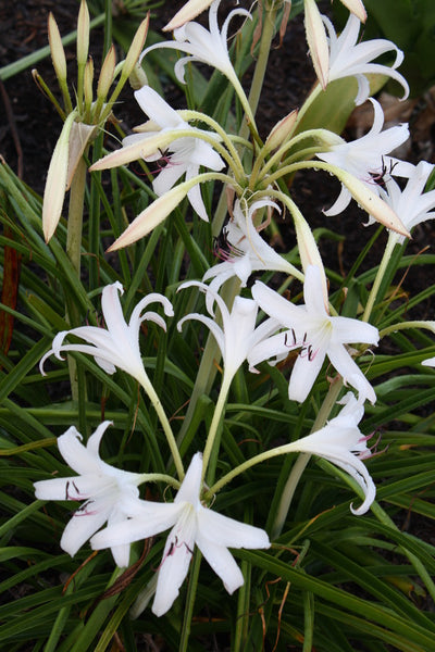 Crinum 'So Sweet'|Juniper Level Botanic Gdn, NC|