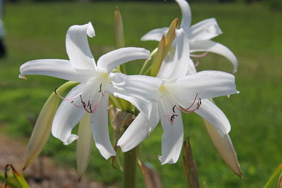 Crinum lugardiae 'White Dove'|Juniper Level Botanic Gdn, NC|