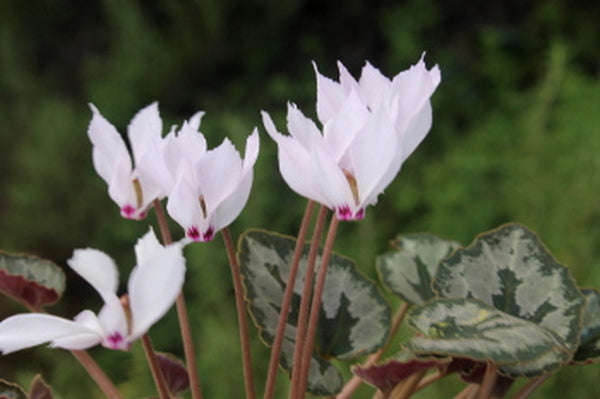 Cyclamen Great Hardy Perennials For The Garden Article By