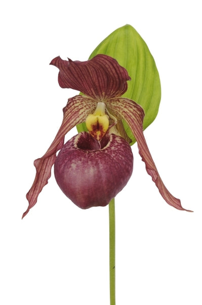 Cypripedium 'Cleo Pinkepank'|Holland|Anthura