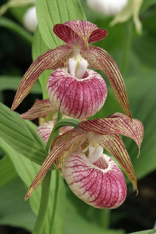Cypripedium 'Hans Erni'