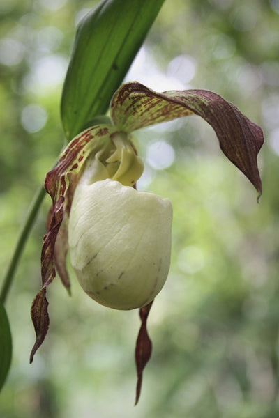 Cypripedium kentuckiense|Juniper Level Botanic Gdn, NC|JLBG