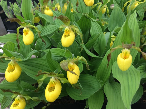 Image of Cypripedium parviflorum var. pubescens