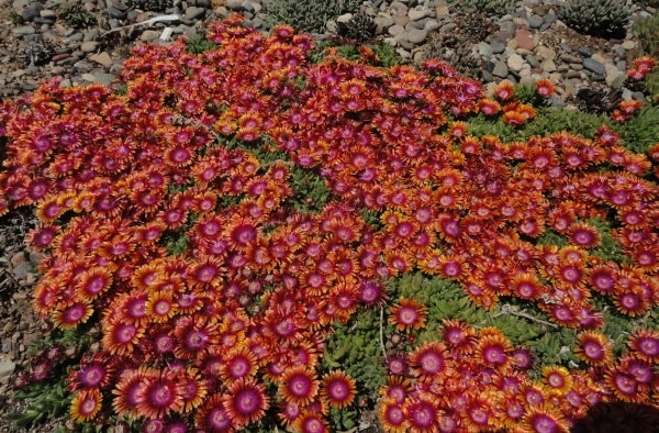 Image of Delosperma 'Fire Spinner'