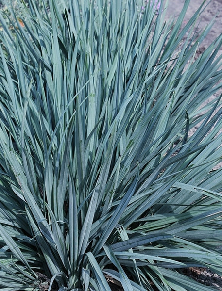The best ornamental grasses for shade and sun plant for Blue ornamental grass varieties