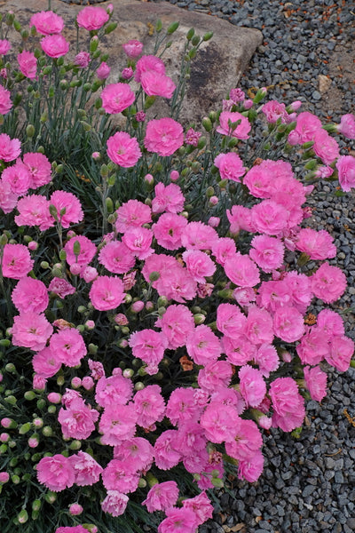 Dianthus 'Sweetie Pie' PP 27,989|Juniper Level Botanic Gdn, NC|JLBG