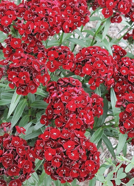 Dianthus barbatus 'Heart Attack'|Juniper Level Botanic Gdn, NC|