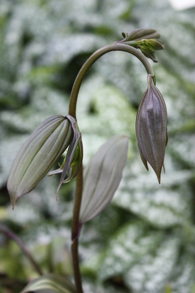 Image of Disporum longistylum 'Night Heron'