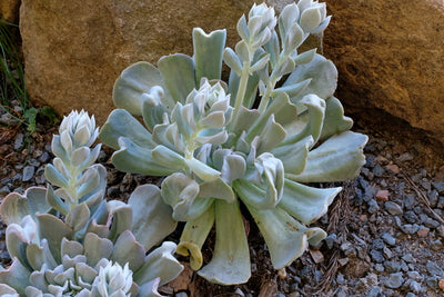 Echeveria Mexican Hen And Chicks Succulent Plant Delights Nursery