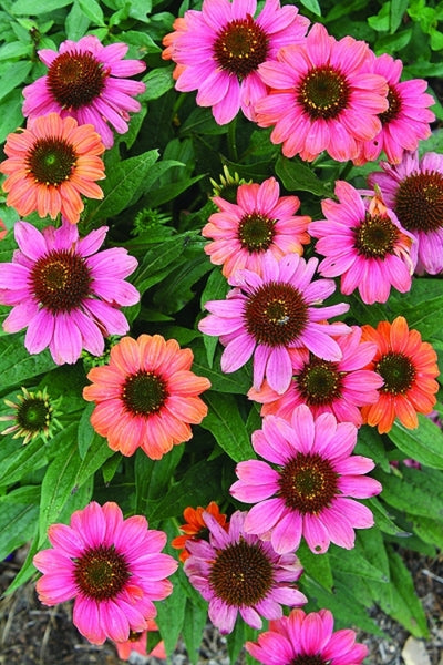 Echinacea 'Hot Coral' PP 23,097|Juniper Level Botanic Gdn, NC|