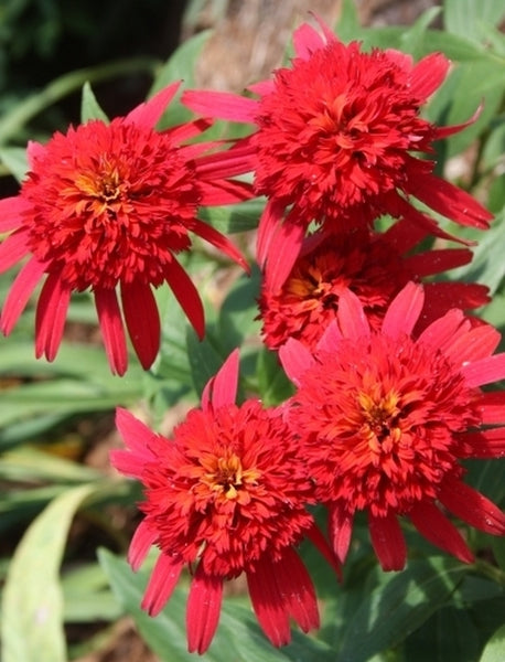 Image of Echinacea 'Hot Papaya' PP 21,022