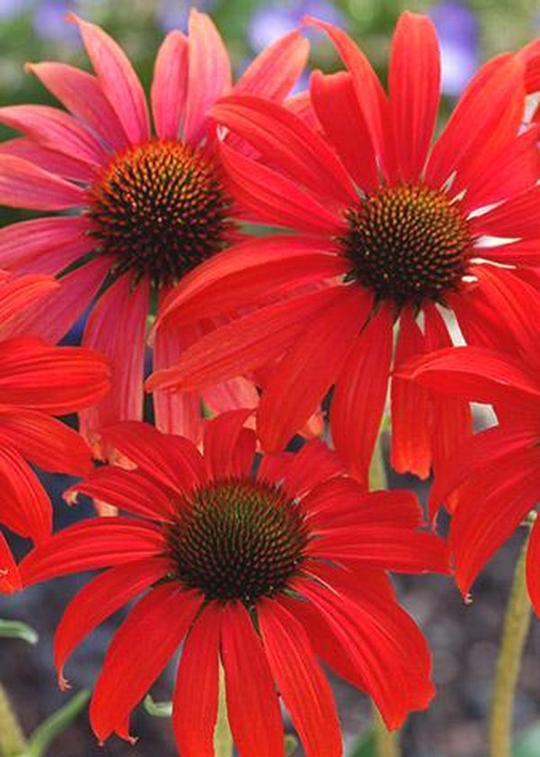 Image of Echinacea 'Tomato Soup' PP 19,427