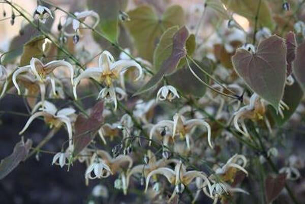 Epimedium 'Chocolatte'