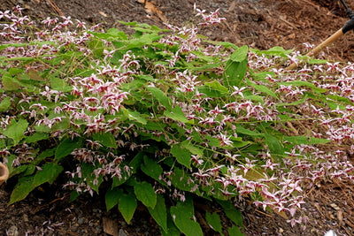 Epimedium 'Cosmic Stars'|Juniper Level Botanic Gdn, NC|