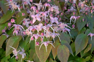 Epimedium 'Pretty in Pink'|Juniper Level Botanic Gdn, NC|JLBG