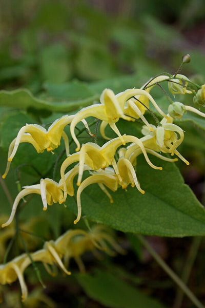 Epimedium baojingense|Juniper Level Botanic Gdn, NC|