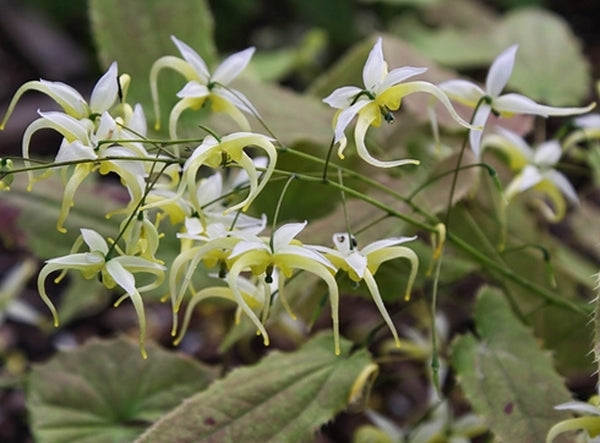 Epimedium chlorandrum 'Sichuan Spider'