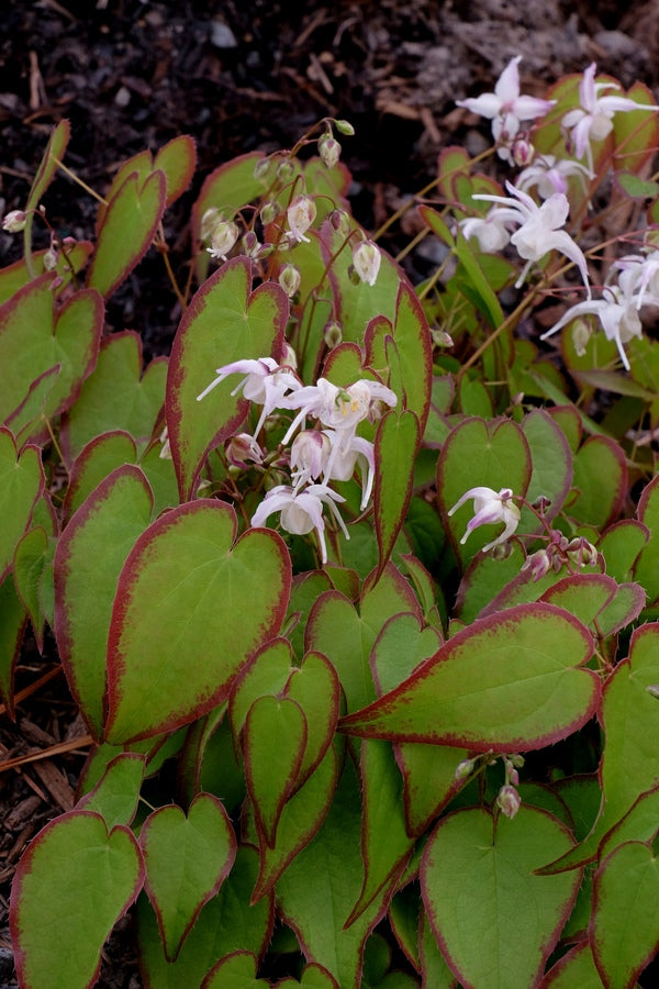 Image of Epimedium sempervirens 'Candy Hearts'