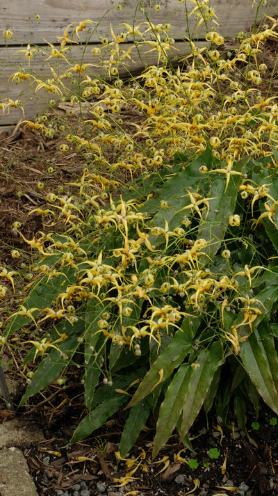Epimedium sp. nov. 'Caramel'|Juniper Level Botanic Gdn, NC|JLBG