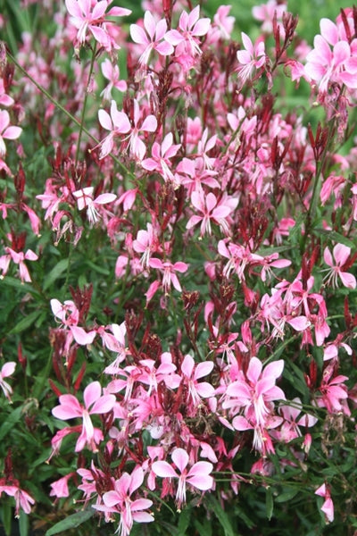 Gaura lindheimeri 'Pink Cloud'|Juniper Level Botanic Gdn, NC|