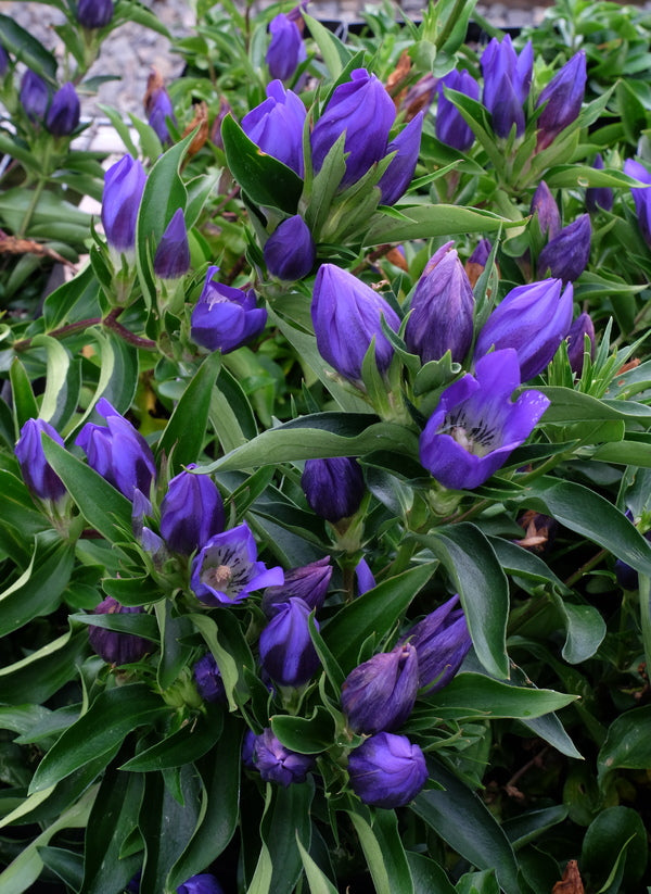 Image of Gentiana 'True Blue' PP 20,433