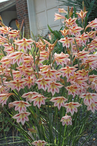 Gladiolus 'Peachy Cheeks'|Juniper Level Botanic Gdn, NC|