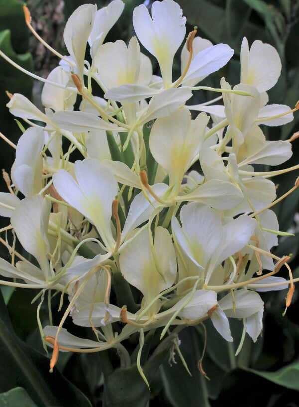 Image of Hedychium 'Tai Monarch'