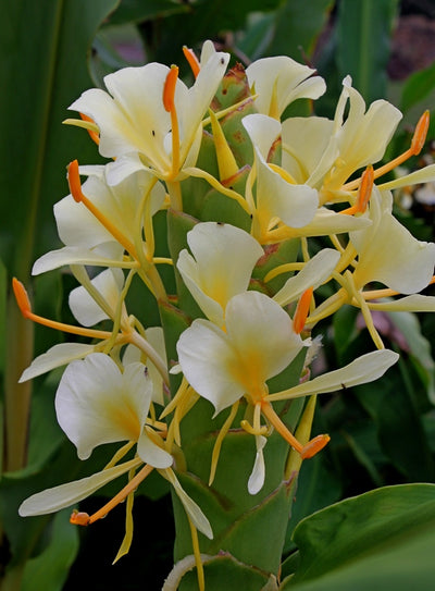 Hedychium urophyllum 'Prayer Flags'||